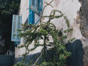 Photo: Paul Perry, a thorn tree near the Church of the Holy Virgin in Sakha, believed to be similar to that from which the crown of thorns of Jesus was made [Matthew 27:29].