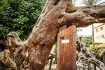 Photo: Shangyun shen, graffitis on the dead trunk of the Virgin Tree