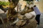 Photo: Shangyun shen, a guard of the garden leaning on the dead trunk of the Virgin Tree.