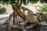 Photo: Shangyun shen, the dead trunk of the Virgin Tree.
