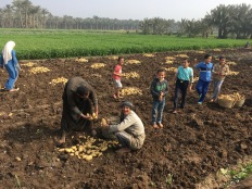 Photo: Shangyun Shen, farmers harvesting the potatos in Dahshur.